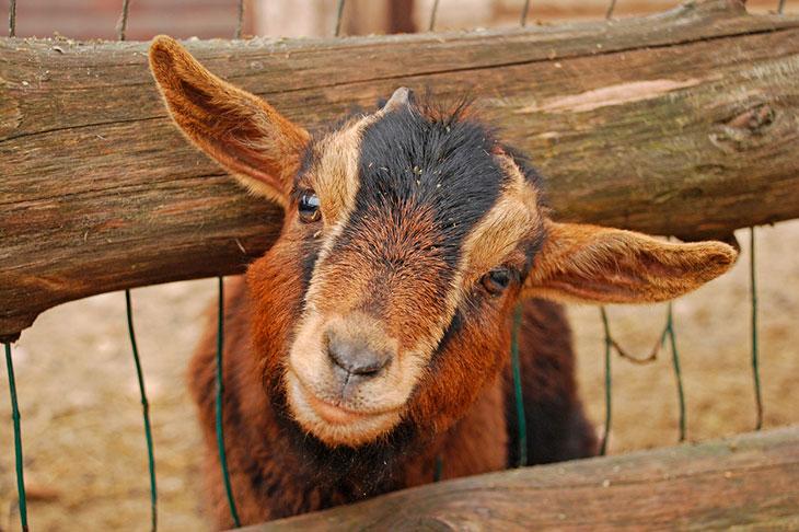 goat zoos