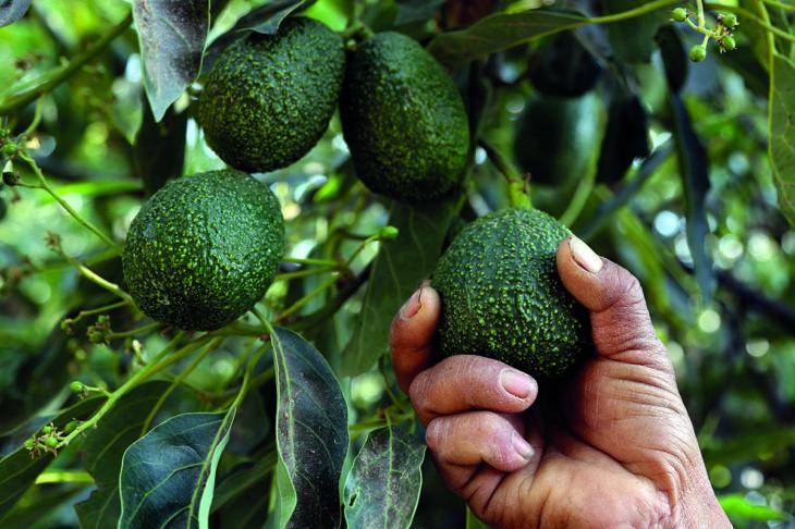 avocado angst